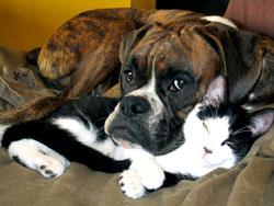 Boxer and cat lying down