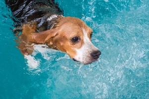 Ear infection epidemic in dogs