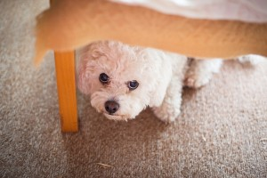 Urinary incontinence in aging pets