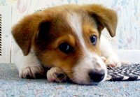 Pet meds and supplements can help relieve itch associated with atopic dermatitis