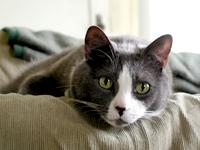 determine cat breed