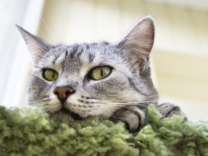 There are increasing numbers of cats with asthma, also known as feline bronchial disease