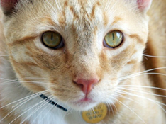 yellow-tabby-cat
