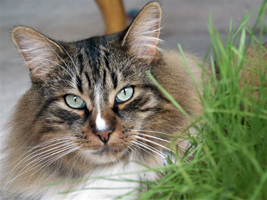 Diabetes is one of the most common diseases cats develop as they age
