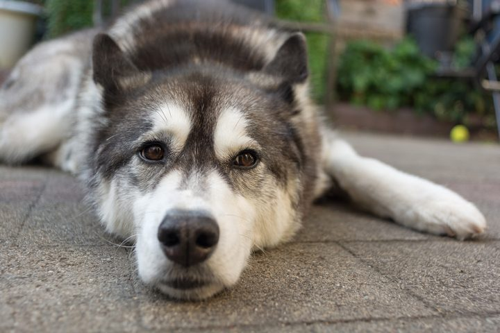 Vets are becoming increasingly aware of the role high blood pressure plays in cats and dogs.