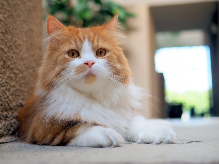 Preventing Hairballs In Long Haired Cats