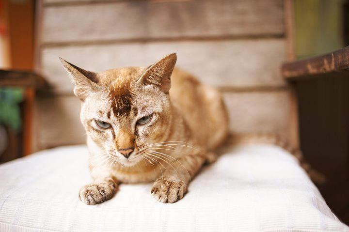 Kidney disease is most common in middle-aged and older cats