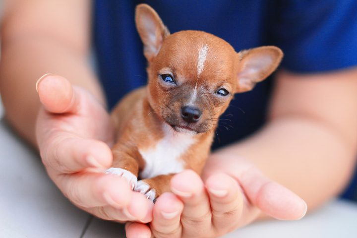 Small breeds often have more reactions to various chemicals, drugs and vaccinations.