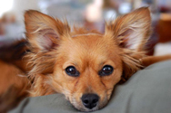 Treating your pet's ear infection with an antibiotic like Zymox or Mometamax may be prescribed by your vet