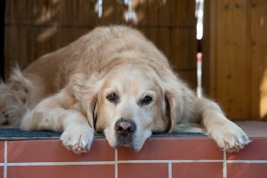 Relieving your dog's pain with Deramaxx pet meds