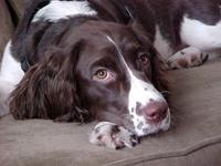 Aging dogs can suffer from arthritis which can cause lameness and cause your pet to have difficulty jumping on and off furniture