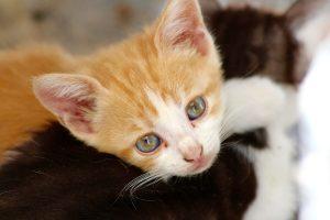 Feline Infectious Peritonitis (FIP)