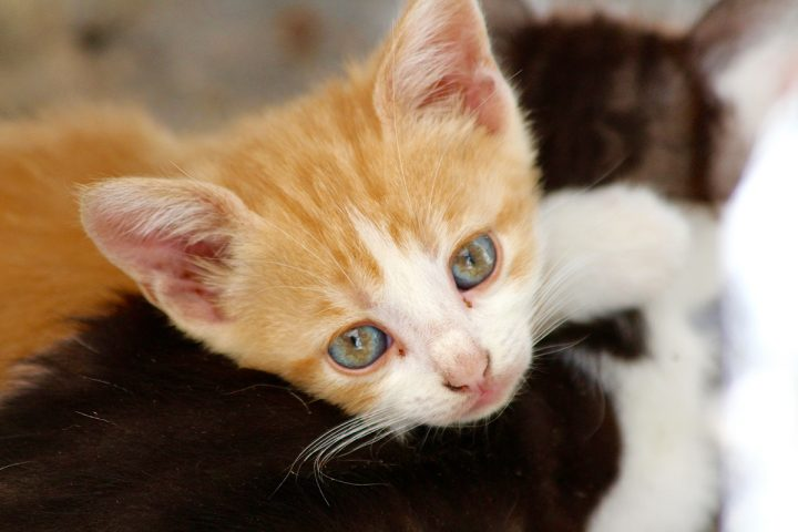 Feline Infectious Peritonitis (FIP) is a viral infection