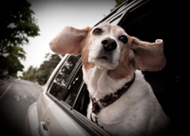 Pet meds for motion sickness can help reduce your pet's anxiety and symptoms for nausea