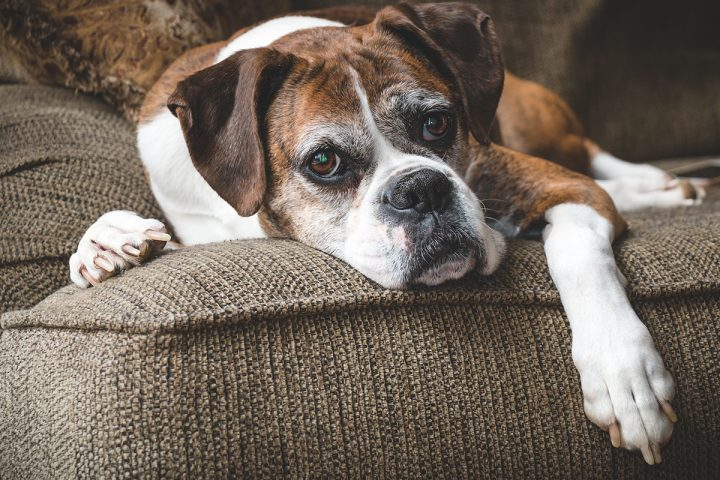 May aging pets suffer from degenerative spinal and/or joint disease.