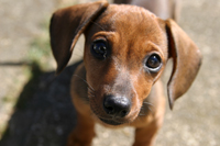 Dachshunds are among several dog breeds that are prone to degenerative disc disease.