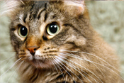 PetMeds® Treating Hyperthyroidism in Cats