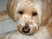 hot-spots-wheaton-terrier