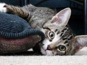 PetMeds® How Do You Know Your Cat Has a UTI? (Symptoms)