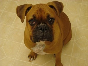 Recurrent Ear Infections in Pets