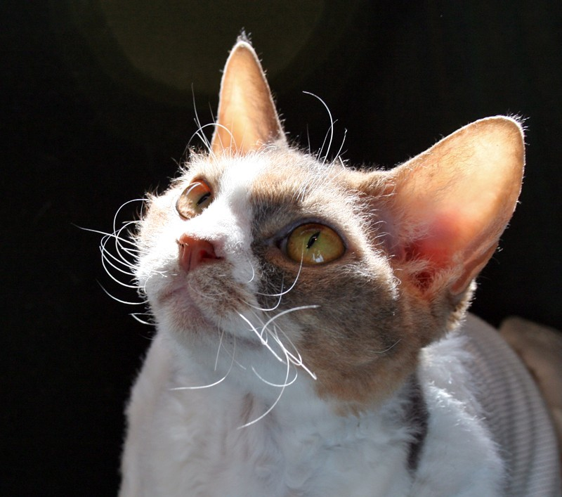 High-spirit breed is noted for adopt a short haired Cornish rex,