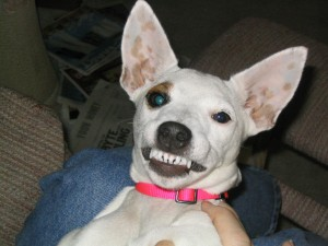 Most dogs lose their baby or deciduous teeth by 6 months of age.