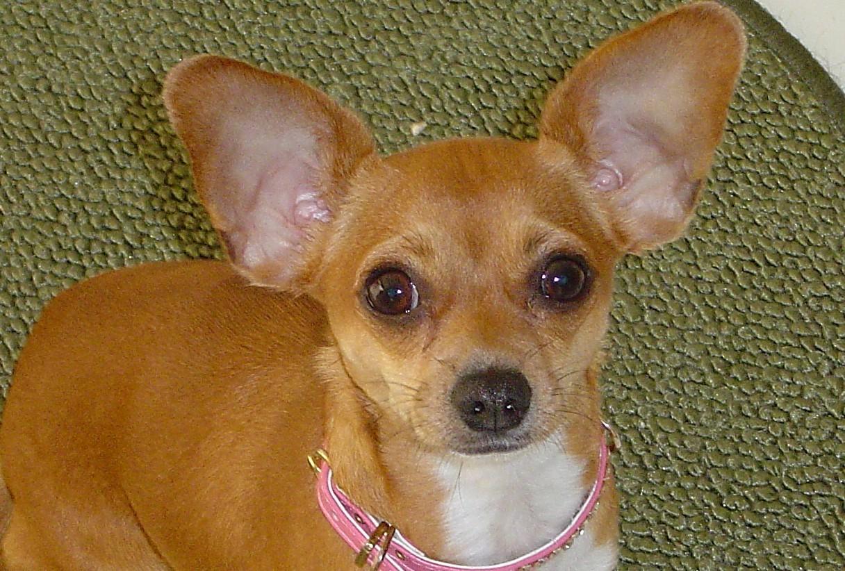 Ear Hematomas In Pets Petmeds 174 Pet Health Blog