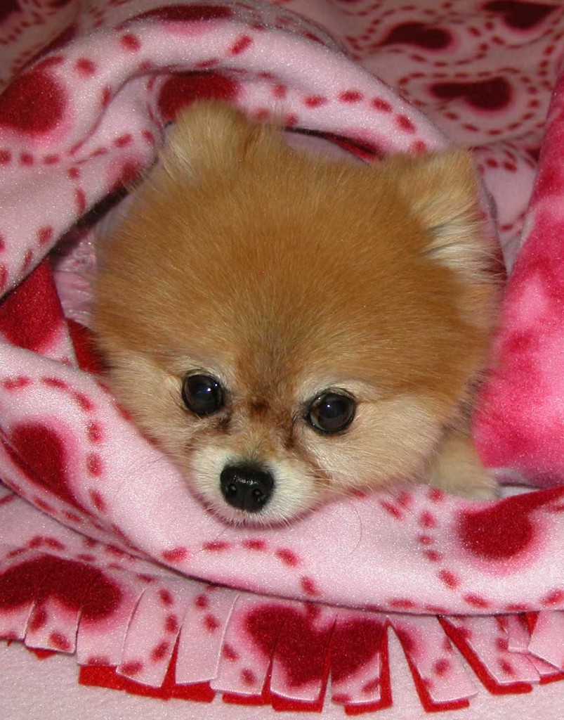 Bella is the featured dog in the PetMeds TV Commercial - shown here with her famous blankies