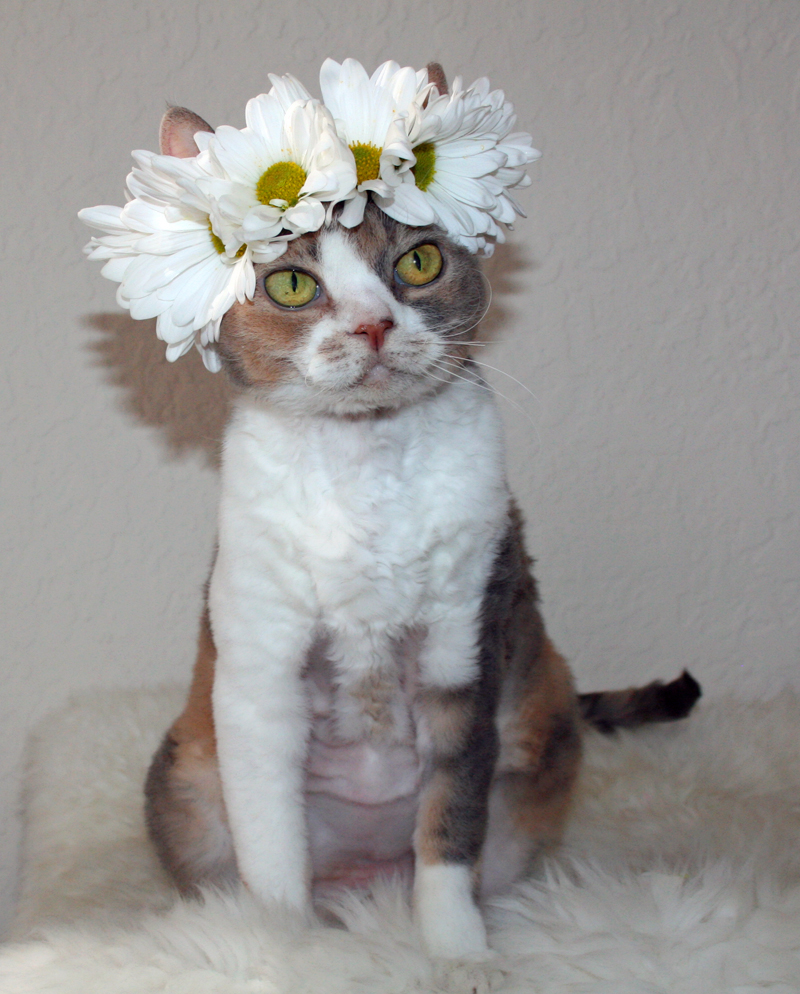 Daisies are the favorite flower of Daisy the Curly Cat