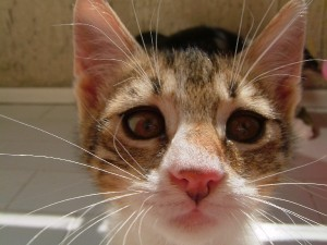 FIP is most common in young or older cats over 12 or 13 years of age