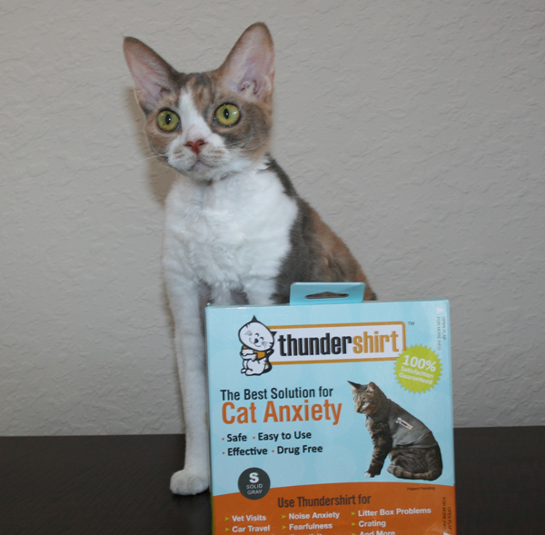 Daisy the Curly Cat is looking forward to trying the Thundershirt for cats