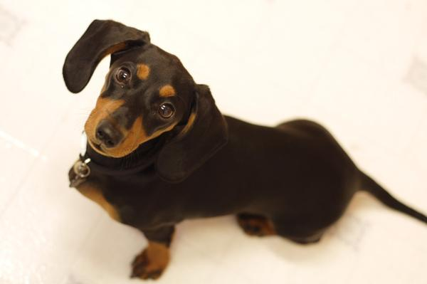 Royal Canin's line of breed-specific pet food includes Dachshund 28