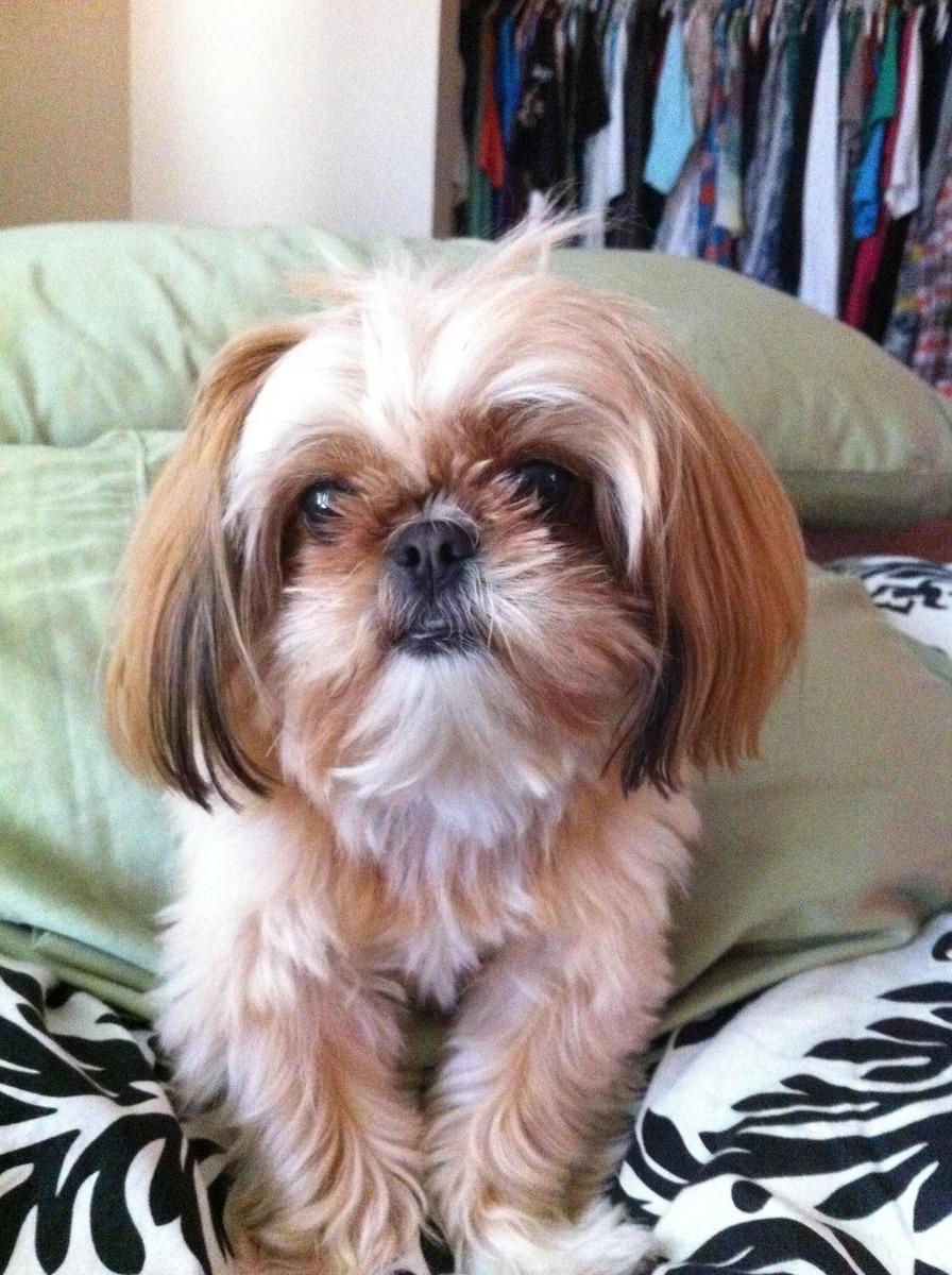 Symptoms Of Dog In Heat Swollen Nipples