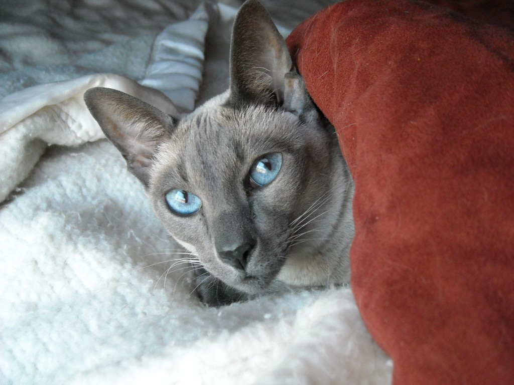 Siamese cats are at greater risk for Megacolon than other cats.