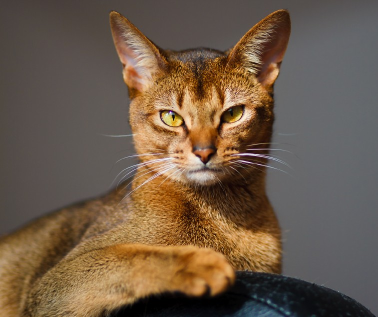Certain cat breeds such as Abyssinians seem to be at higher risk for kidney disease