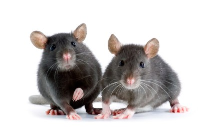 Rats can show empathy and compassion