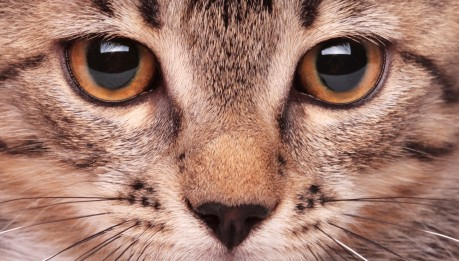 Cats and dogs have a reflective surface in the back of the eyes called the tapetum