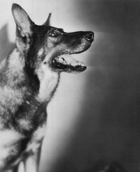 Rin Tin Tin from the 1929 film The Frozen River