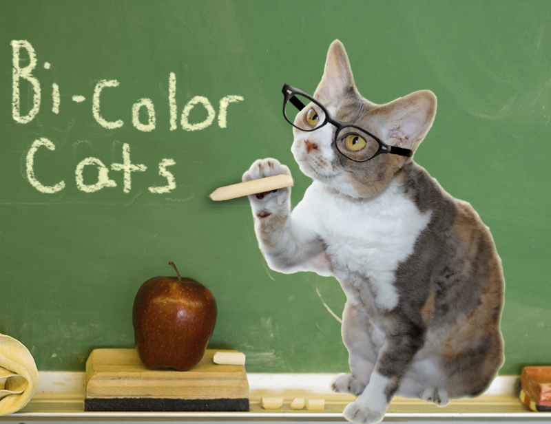 Professor Daisy discusses bi-color coat patterns in cats