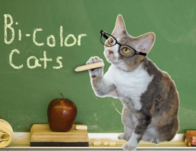Professor Daisy discusses bi-color coat patterns in cats