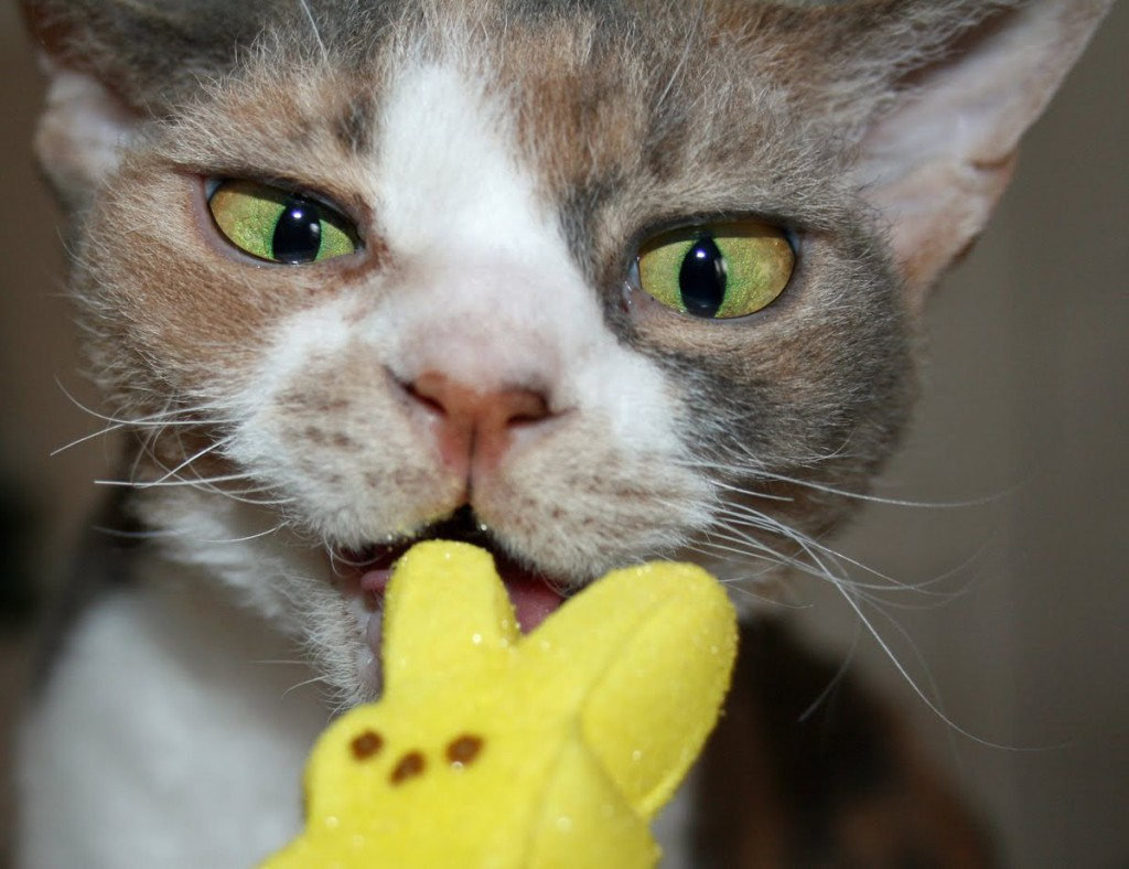 Daisy the Curly Cat knows spring is Peeps season