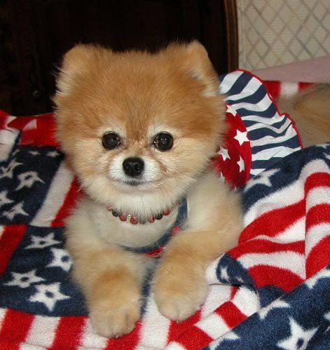 Bella poses on a Red, White, and Blue Bella Blankie, made especially for the Fourth of July holiday.