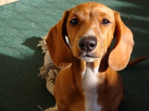 Hypothyroidism – One of the Most Common Diseases in Dogs