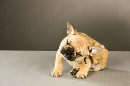 One of the symptoms of ear mites is itchiness