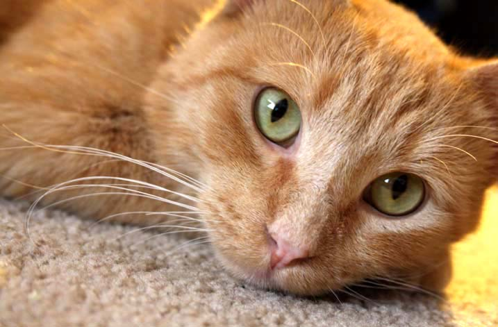 Hyperthyroidism is one of the most common diseases in cats