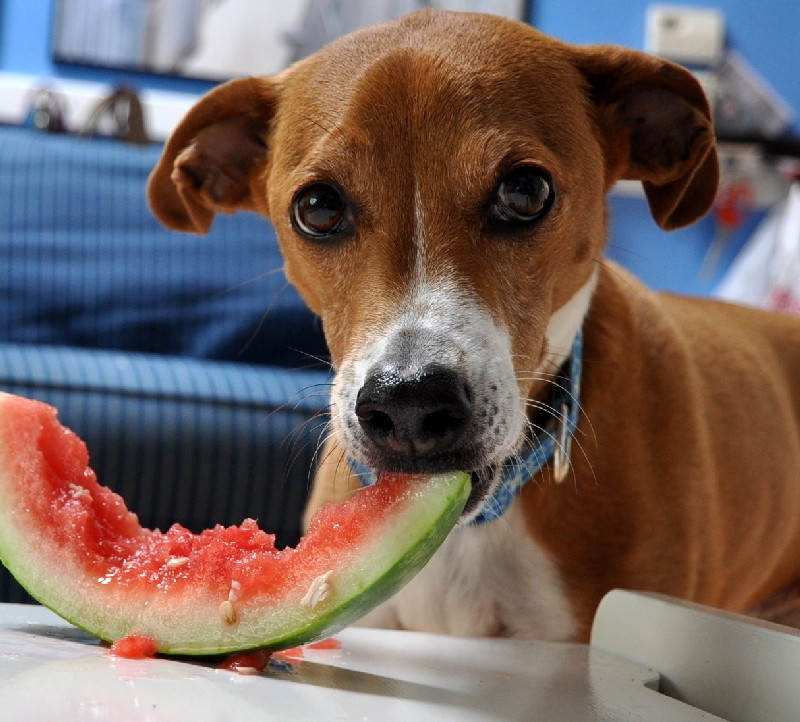 dog-eating-watermelon