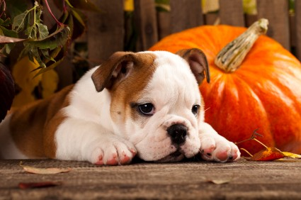 If your dog doesn't  enjoy wearing a costume, consider a Halloween collar charm