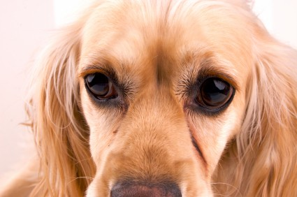 Certain breeds are more susceptible to primary glaucoma