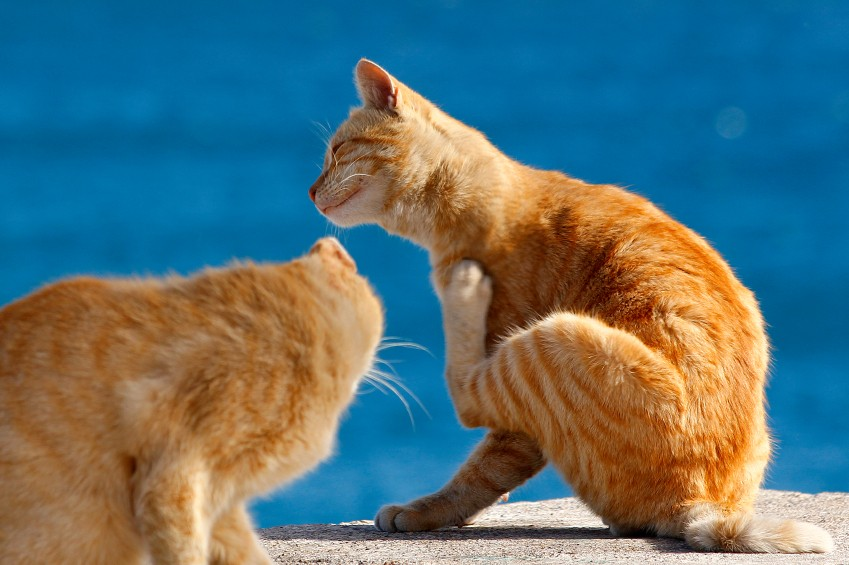 Even indoor cats can get fleas