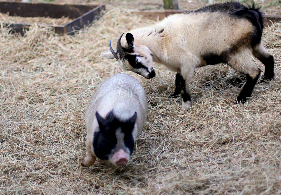 pygmy goat butts pig